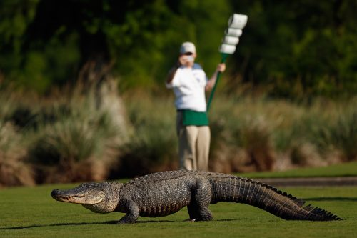 AVONDALE, LA - APRIL 25: A giant alligator sits on the 14th fairway during the first round of the Zurich Classic at TPC Louisiana on April 25, 2013 in Avondale, Louisiana. (Photo by Chris Graythen/Getty Images) ORG XMIT: 159666934 ORIG FILE ID: 167507930