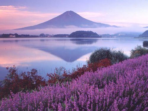 fuji_lavender