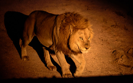 55382218 - lion on night patrol