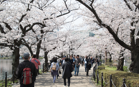 61755940 - tokyo, japan - april 06. 2016: ueno park is spacious public park in the ueno district of taita, tokyo, japan.it'is the most famous place to people relaxing and enjoy viewing cherry blossoms sakura.