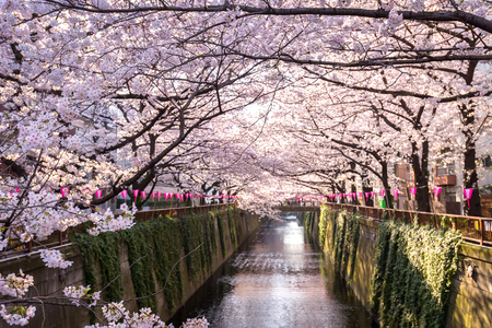 50231204 - cherry blossom lined meguro canal in tokyo, japan.