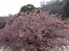 9GATES-高遠小彼岸桜2