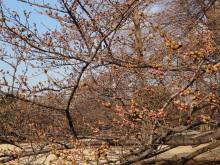9GATES-八重桜
